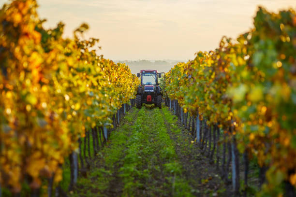 Colorful vineyard in autumn day with tractor stock photo