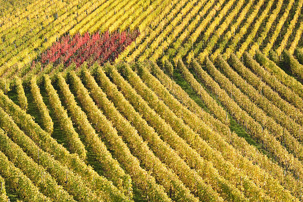 colorful vineyard in autumn stock photo