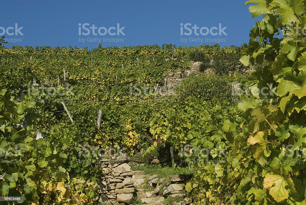 Colorful vineyard in the mountains of Austria royaltyfri bildbanksbilder