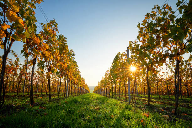 Colorful vineyard on a sunny day. Colorful vineyard on a sunny day. Yellow colored leaves vine in autumn. moravia stock pictures, royalty-free photos & images