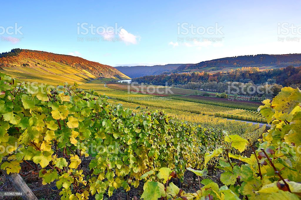 colorful vineyards in Moselle valley stock photo