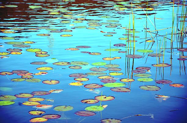 colorful waterlily pads - wasserlilien stock-fotos und bilder