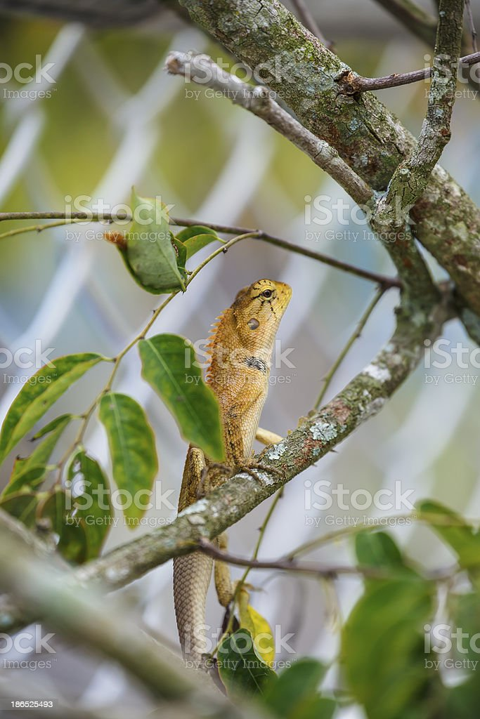colorful wild lizard (Agamidae) royalty-free stock photo