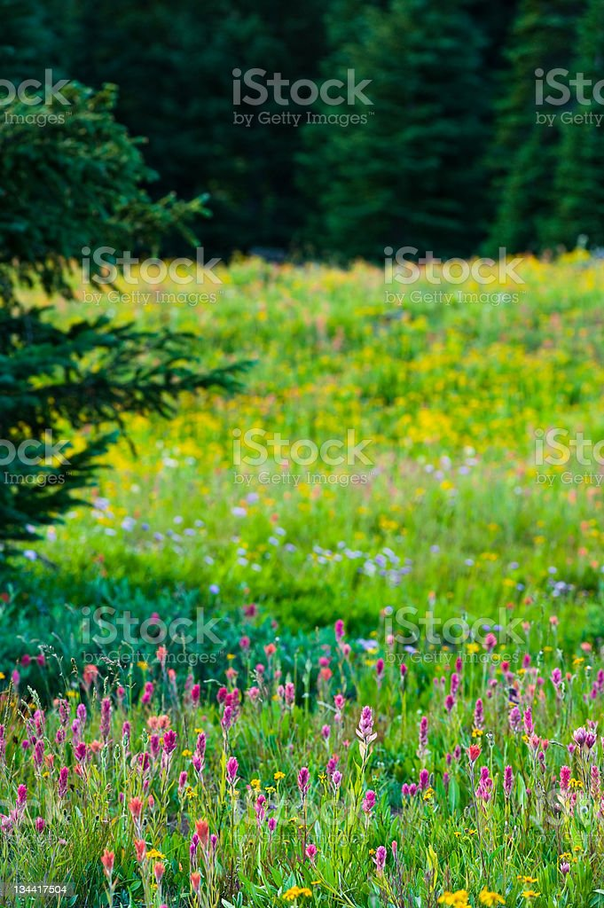 Colorful Wildflower Meadow in the Mountains Colorado royalty-free stock photo