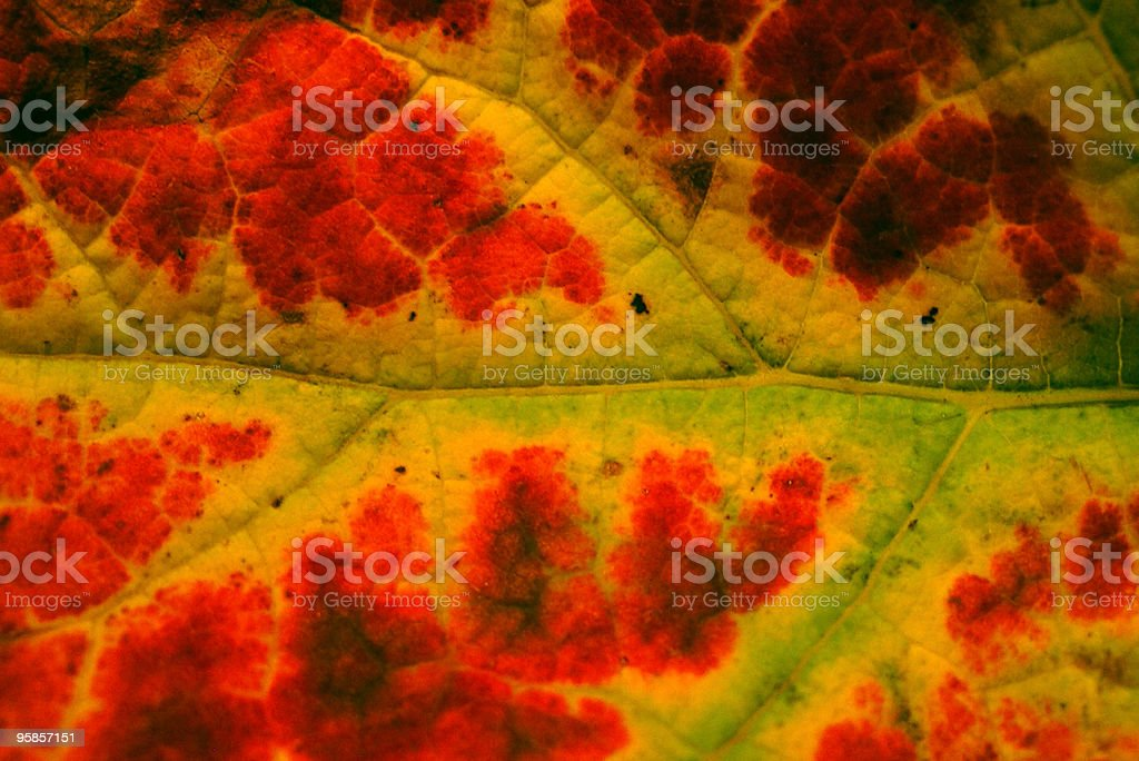 Colorful wine leaf royalty-free stock photo
