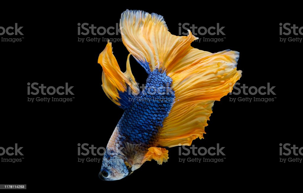 Colorful With Main Color Of Dark Blue White And Yellow Betta Fish Siamese Fighting Fish Was Isolated On Black Background Stock Photo Download Image Now Istock