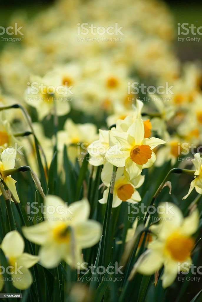 Colorful yellow and orange daffodils in spring royalty-free stock photo