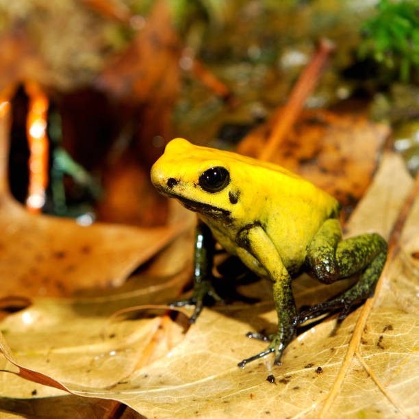 colorful yellow frog fillobates terribilis - croak stock pictures, royalty-free photos & images