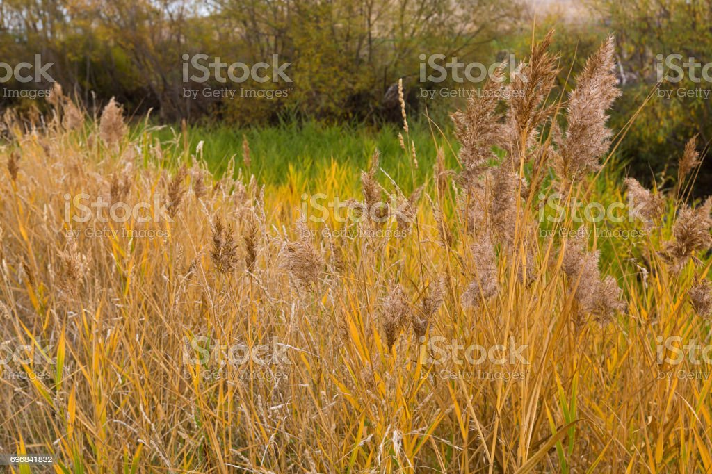 Colorful yellow golden color of reed grass in the field. Autumn in Tasmania, Australia stock photo
