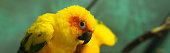 Colorful yellow parrot, Sun Conure Aratinga solstitialis, portrait profile