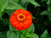 Zinnia flowers in the garden is a popular flower grown in the house and the place because many beautiful colors.