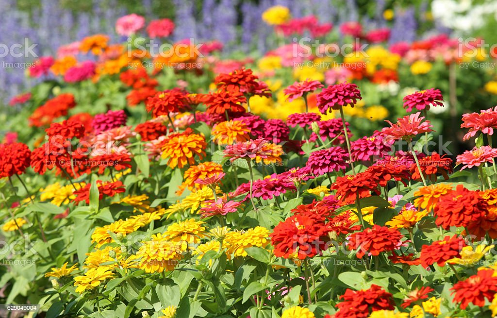 Colorful Zinnia flowers blooming in the garden. stock photo