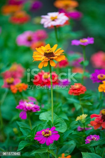 Colorful zinnia flowers growing in the garden, on warm sunny day