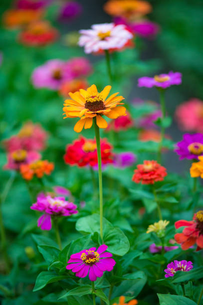 Colorful zinnia flowers growing in the garden, on warm sunny day stock photo