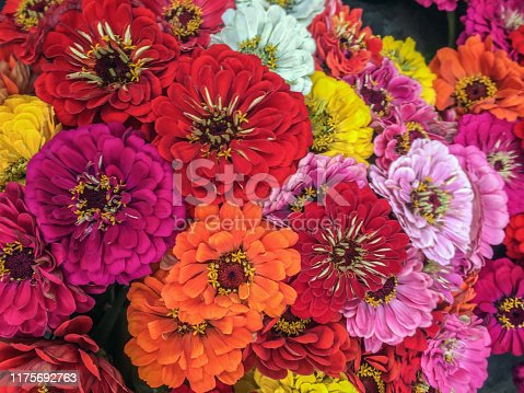 Close-up on bright and colorful zinnias.  The zinnia flower has several meanings including thoughts of friends, endurance, daily remembrance, goodness and lasting affection. The Victorian meaning of zinnias is thoughts of an absent friend. a gift from the heart, and a lasting affection.