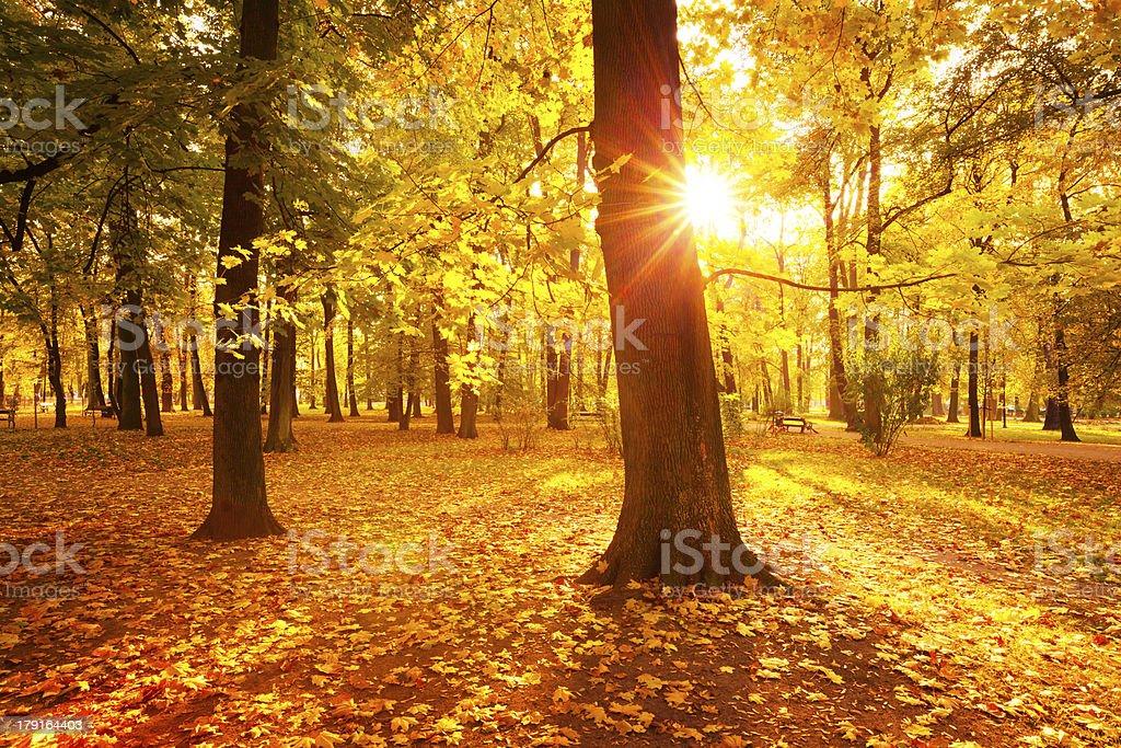 Colorfull Autumn Park - Sun Shining through the Maple Tree royalty-free stock photo