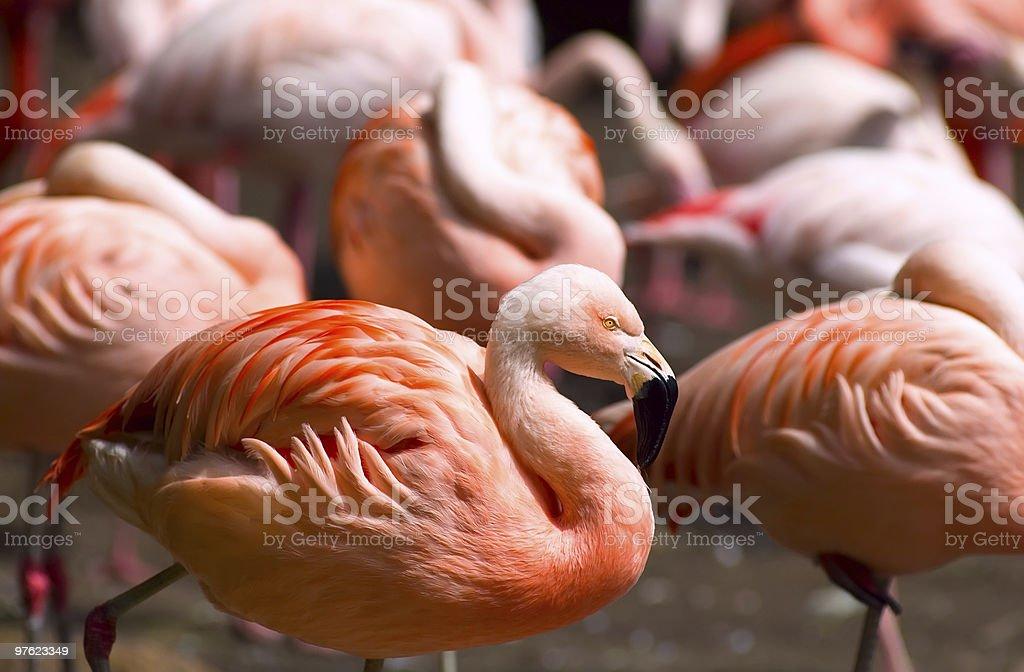Colorfull Chilean Flamingos royalty-free stock photo