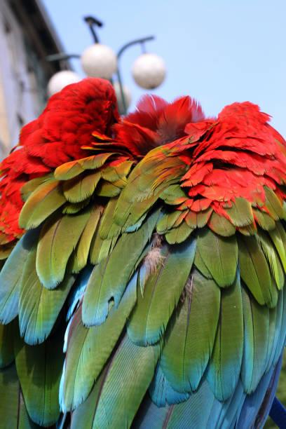 farbenfrohe feder auf dem grün geflügelte ara, von hinten fotografiert. - urbanara stock-fotos und bilder