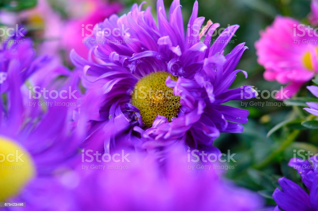 colorfull flowers and roses collection29 royalty-free stock photo