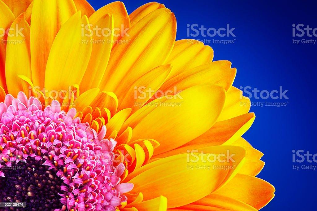 Flores gerbera colorfull - foto de acervo