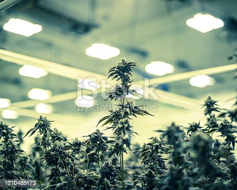 istock Colorized Marijuana Plant Buds Growing Under Warehouse Lights 1210485173