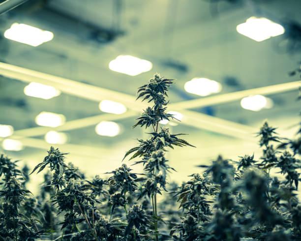 Colorized Marijuana Plant Buds Growing Under Warehouse Lights stock photo