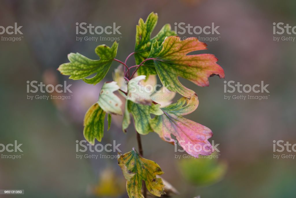 Colors leaves in autumn forest. Colorful leaves are located in the center of the photo. Beautifully blur the background zbiór zdjęć royalty-free