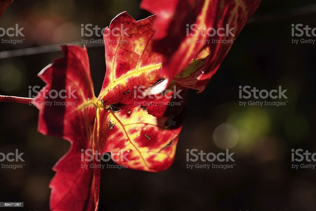 Colors of autumn grapevine royalty-free stock photo