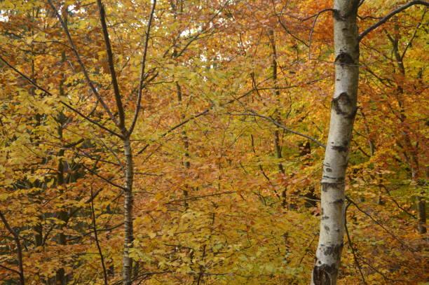 färger av höstsäsongen i skogen - bernkastel kues höst bildbanksfoton och bilder