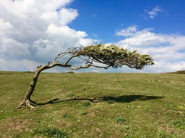 A colour photograph of a wind bent Hawthorn tree on an exposed hillside with a blue sky - landscape shot. A colour photograph of a wind bent Hawthorn tree on an exposed hillside with a blue sky - landscape shot. bending stock pictures, royalty-free photos & images