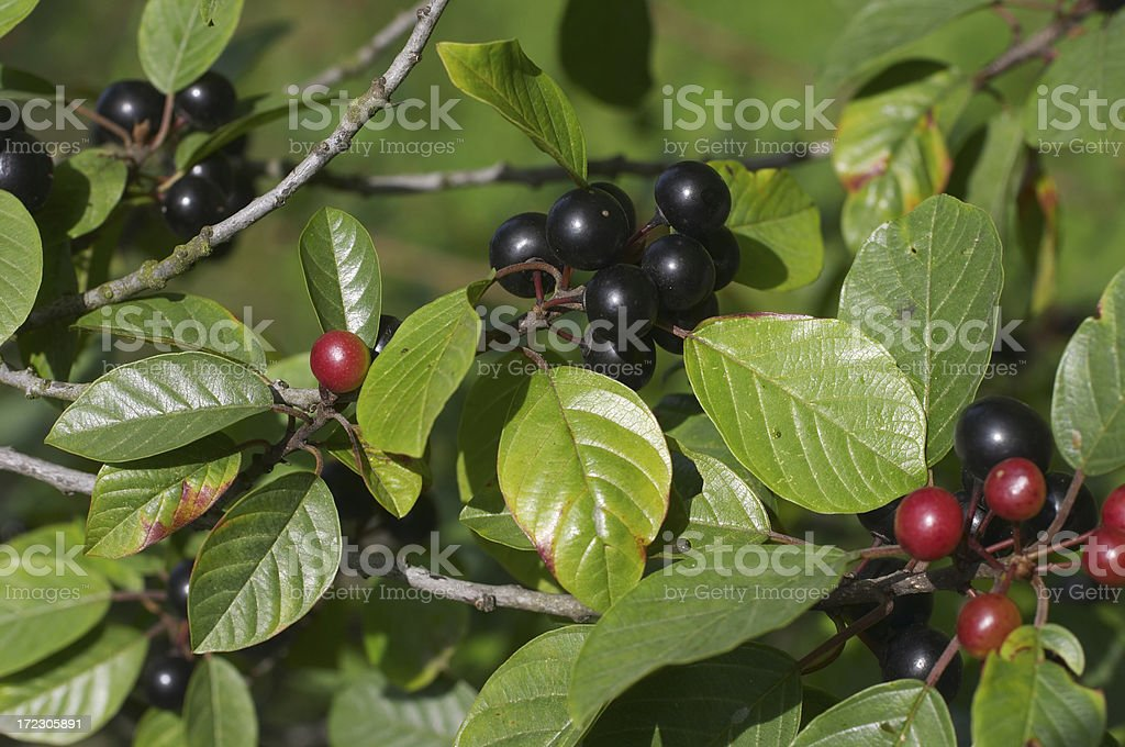 Black and red berries of alder buckthorn stock photo