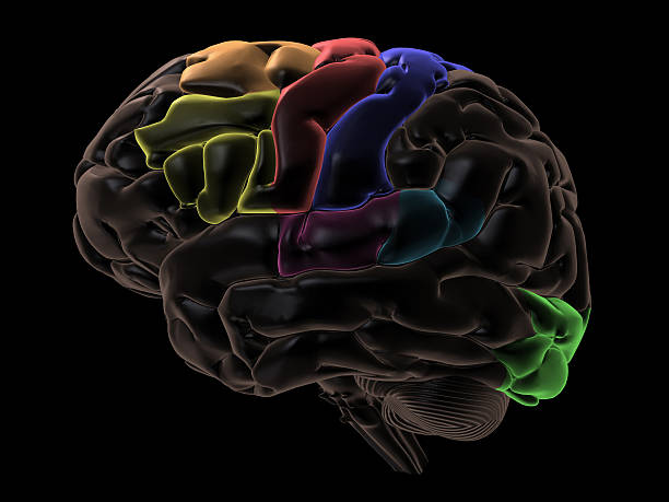 Coloured areas left side of the Brain Coloured areas of the left side of the Brain for Medical and educational purposes temporal lobe stock pictures, royalty-free photos & images