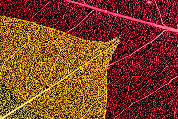 Coloured Dried Leaf stock photo
