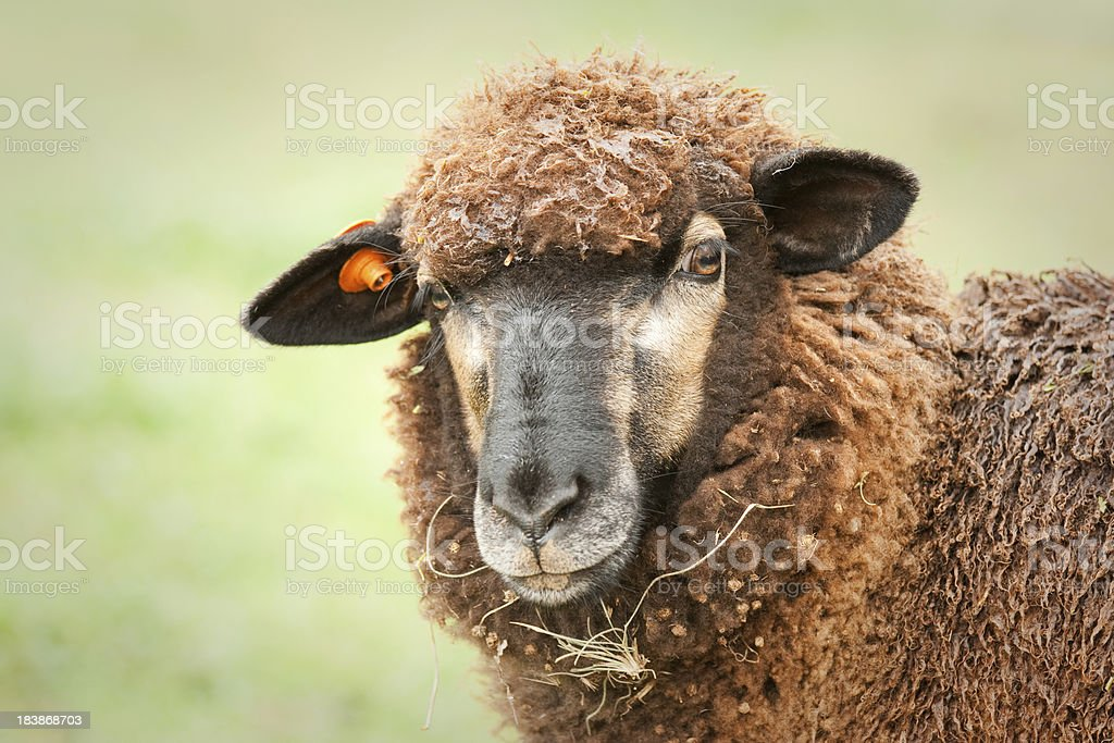 Coloured Lamb Portrait stock photo