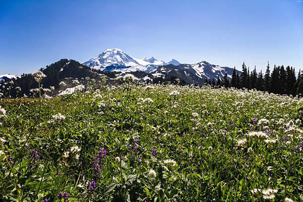 des fleurs, skyline divide meadows et le mont baker, dans l'état de washington - mont baker photos et images de collection