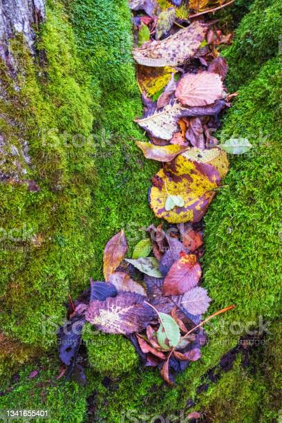 Photo of Colourful autumn leaves lying in green moss