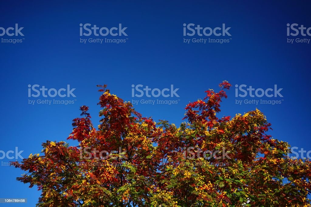 Colourful Autumn leaves on a tree with blue sky stock photo
