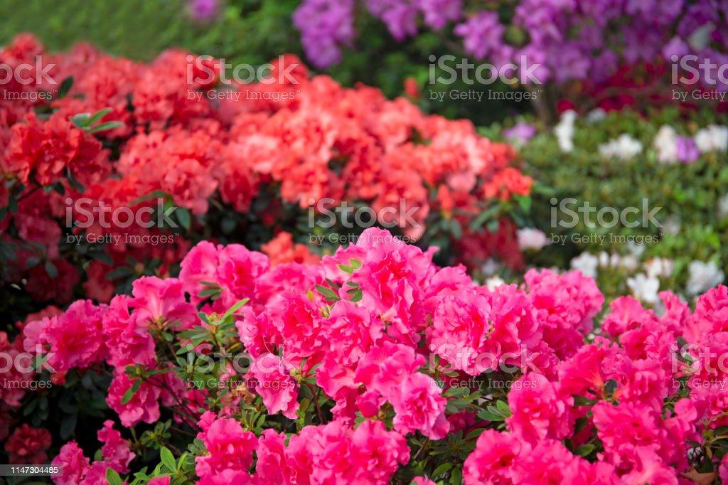 Colourful beautiful bright blooming azalea bushes - Royalty-free Azalea Stock Photo