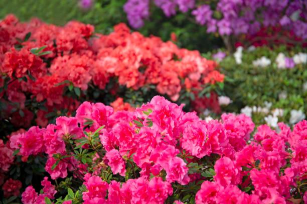 Colourful beautiful bright blooming azalea bushes stock photo
