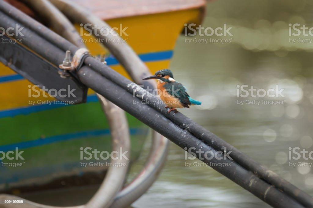 Tiny beautiful bird Common Kingfisher female resting on fisherman...