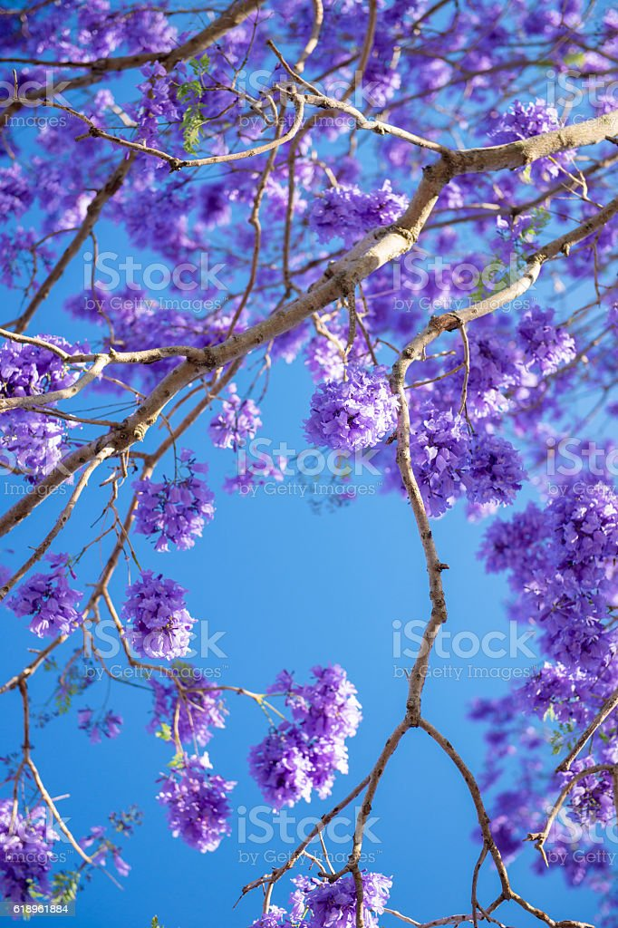 Colourful blooming jacaranda tree stock photo