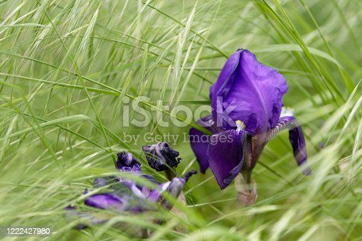 istock Colourful blue purple iris growing in grass 1222427980