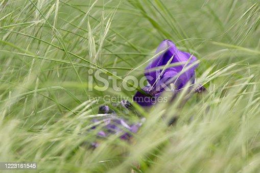 istock Colourful blue purple iris growing in grass 1223161545