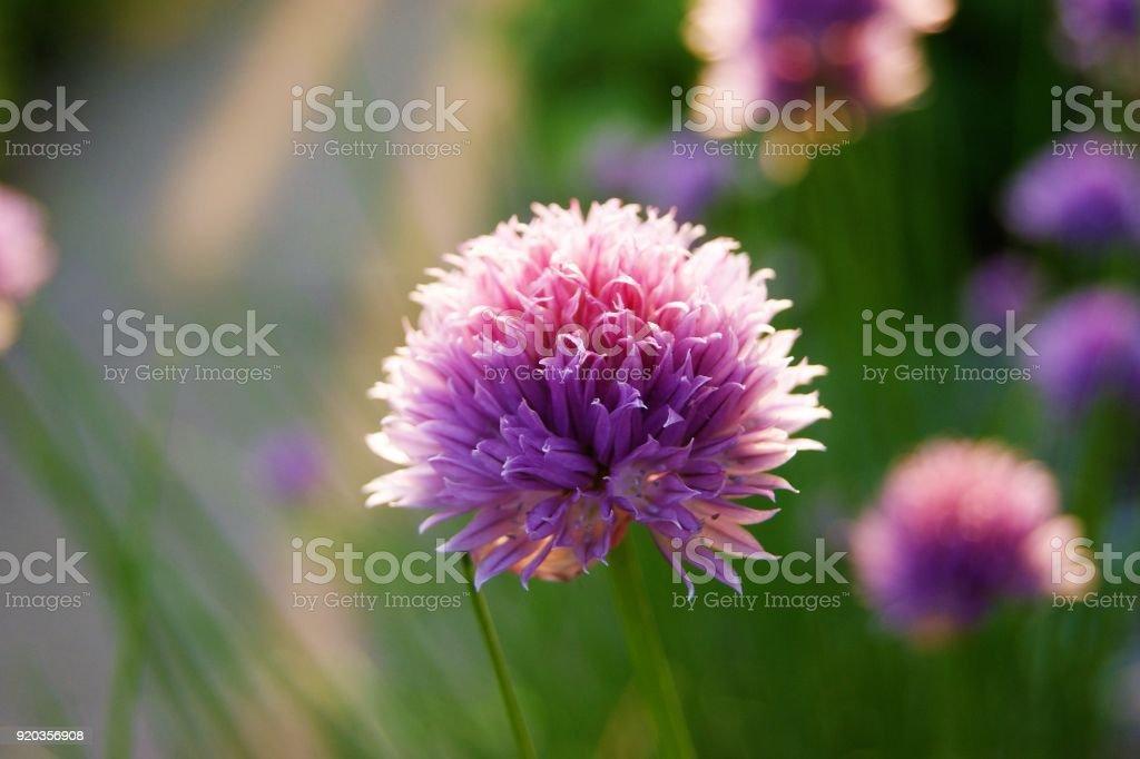 Bunte Blumen der Schnittlauch (Allium Schoenoprasum). – Foto