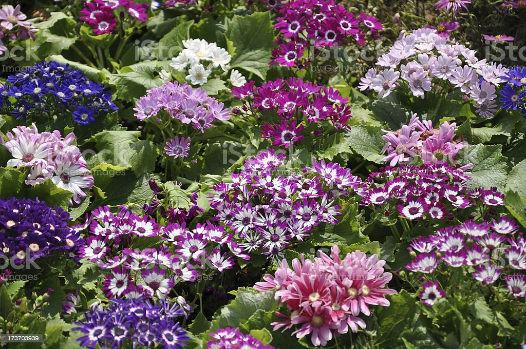 Colourful Cineraria / Daisy / Chrysanthemum Flower Sea stock photo