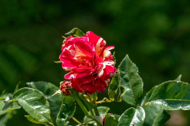 Colourful close up of a single red and yellow marco polo rose head picture id1161217723?b=1&k=6&m=1161217723&s=612x612&w=0&h=njlt 8ilvssackfl eja rvkbxkl sfieddnb7wezsi=