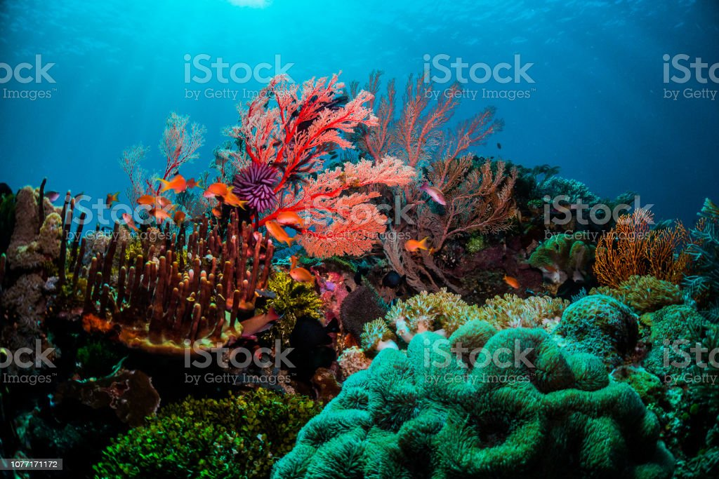 Colourful coral scene underwater with fish and divers Beautiful coral scenes with vibrant fish life and divers Animal Stock Photo