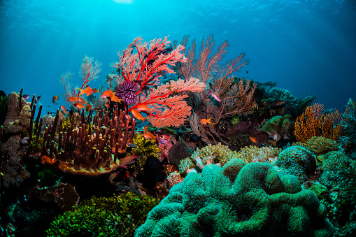 Colourful Coral Scene Underwater With Fish And Divers Stock Photo - Download Image Now