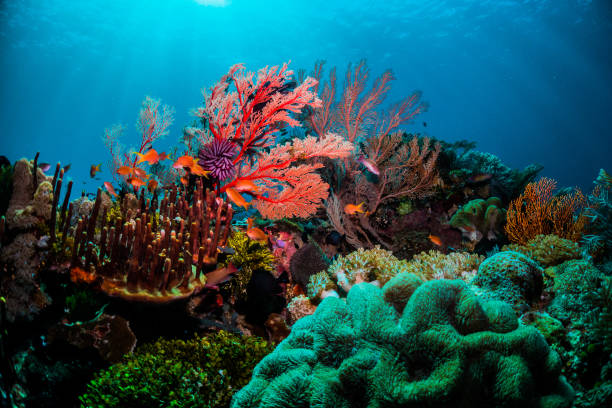 Colourful coral scene underwater with fish and divers Beautiful coral scenes with vibrant fish life and divers undersea stock pictures, royalty-free photos & images