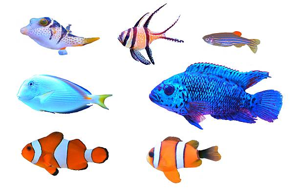Royalty free tropical freshwater fish pictures images and for Cute freshwater fish